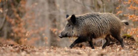 Cuadrado niega tajantemente que se vaya a prohibir la espera nocturna del jabalí en Castilla-La Mancha