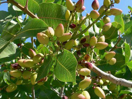 Se triplican las hectáreas de cultivo de pistacho en el último año en Cuenca