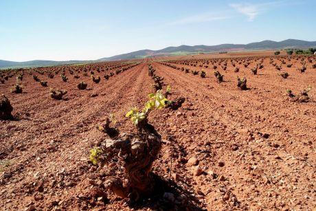 Se espera resolver en septiembre la convocatoria de ayudas de restructuración del viñedo