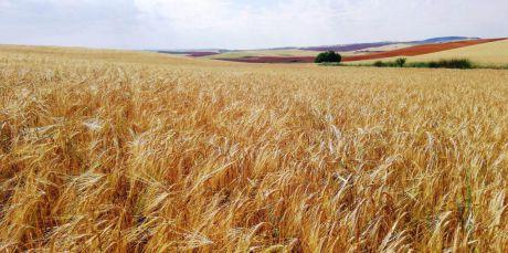 ASAJA pide medidas que ayuden al cereal a mejorar rendimiento ante la sequía