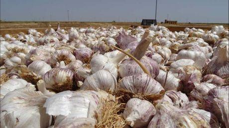 Reanuda la actividad en el almacén de ajos de Las Pedroñeras, donde hay 4 casos de COVID-19