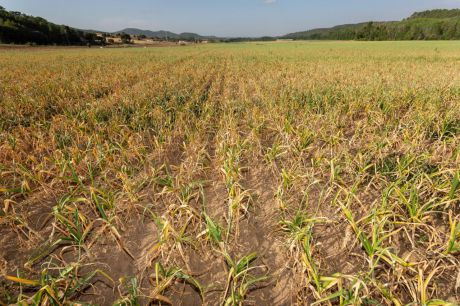 Las organizaciones agrarias y Cooperativas denuncian la desesperación en el cultivo del ajo por el problema del agua