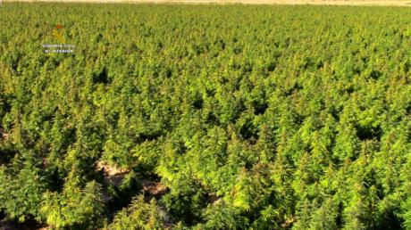 La Guardia Civil interviene 135.000 plantas de marihuana, la mayor cantidad en un mismo cultivo en toda Europa