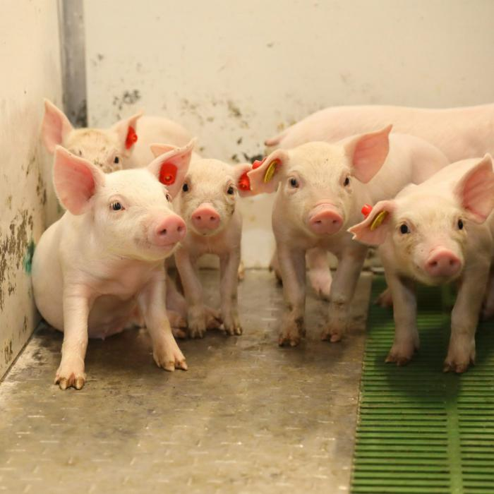 ICPOR supera el control anual de sus granjas con una calificación de excelente, según el certificado de 'Bienestar animal y bioseguridad'