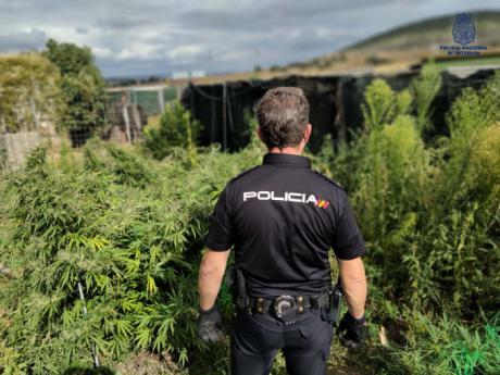 La Policía Nacional detiene a dos personas que cultivaban marihuana en Cuenca y Villar de Olalla