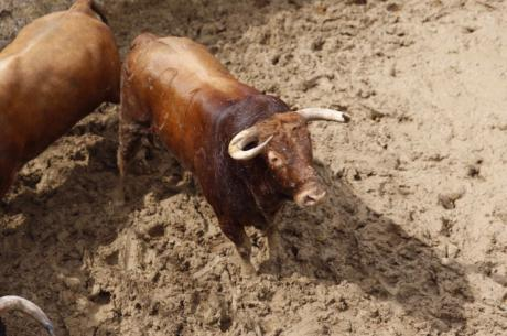 Ameno, de Montalvo, cierra la Feria de San Julián