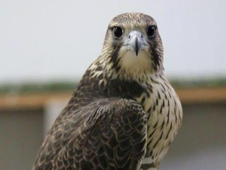Investigadores del IREC optimizan un método para criopreservar el semen de las aves rapaces