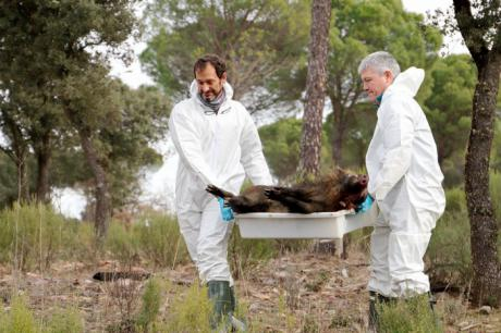 El grupo SaBio de la UCLM desarrolla un modelo matemático para mejorar el control epidemiológico de la peste porcina africana
