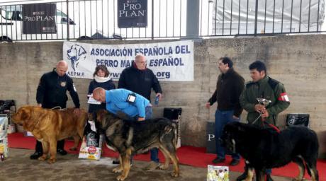 Jábaga acoge el V Concurso de Mastín Español