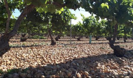 Un total de 66 viticultores de la provincia reciben mañana el pago de reestructuración del viñedo por importe de más de 709.000 euros