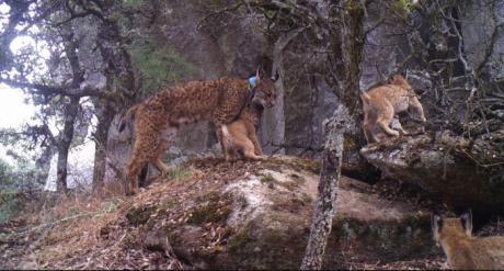 El Gobierno regional destaca la importancia del programa LIFE+Iberlince, tras conocerse que una nueva camada recorre los Montes de Toledo