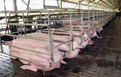 250 vecinos de Almendros apoyan el recurso de alzada contra la macrogranja porcina, con incineradora y balsa de purines, lindante con la Zona ZEPA