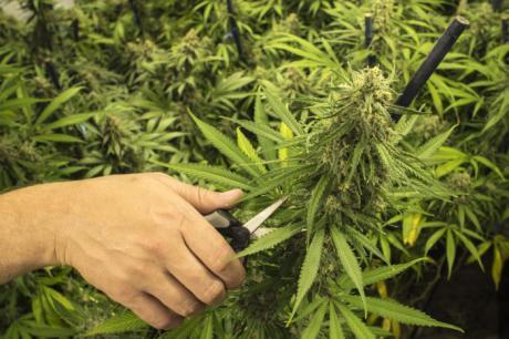 Proyecto Hombre alerta de consumo de marihuana 'más fuerte' entre adolescentes
