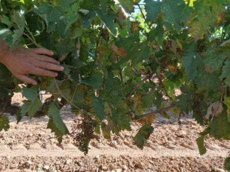 El Mildiu alerta a muchos viticultores de la región