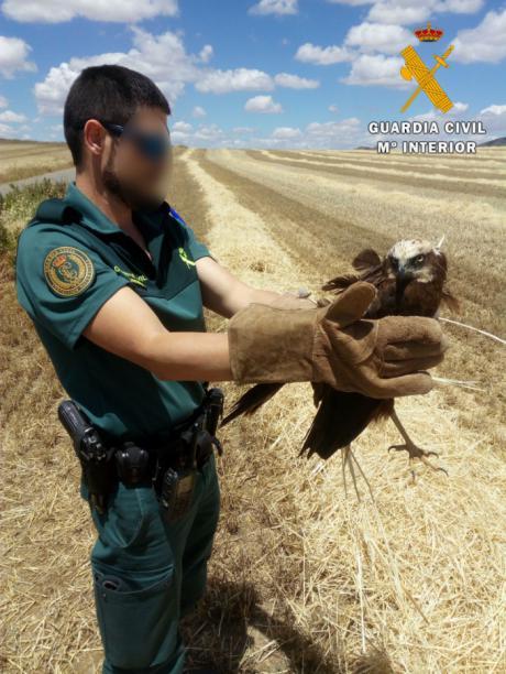 La Guardia Civil recupera un aguilucho lagunero herido en Pulgar
