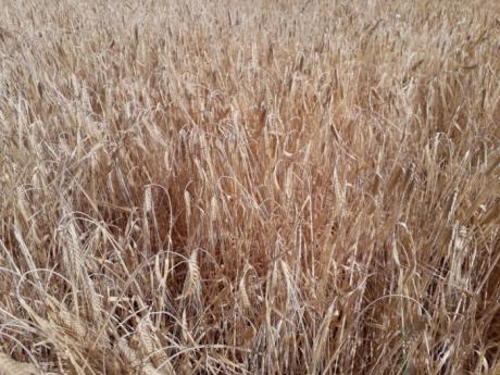 Agroseguro inicia el pago de las indemnizaciones por sequía en cereales con más de 42 millones de euros