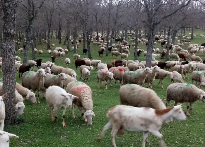 ASAJA alerta que las ayudas que el Ministerio de Agricultura ha anunciado dejarán fuera al 95 por ciento de los ganaderos de ovino y caprino de la región