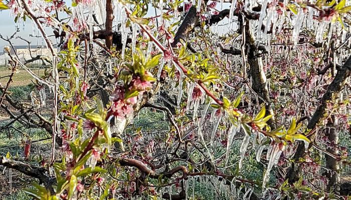 Un fin de semana frío que podría generar pérdidas hasta del 80 % en frutales
