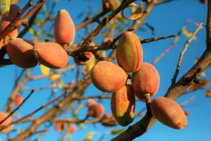 Incrementa un 121% la previsión de cosecha de almendra en Castilla-La Mancha