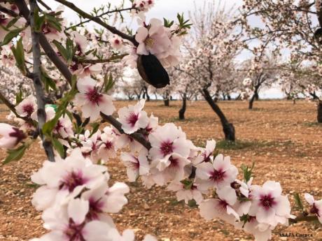 Agricultores de La Manchuela alertan del riesgo de la avispilla para el cultivo del almendro y piden a la Administración medidas para evitar que se propague la plaga