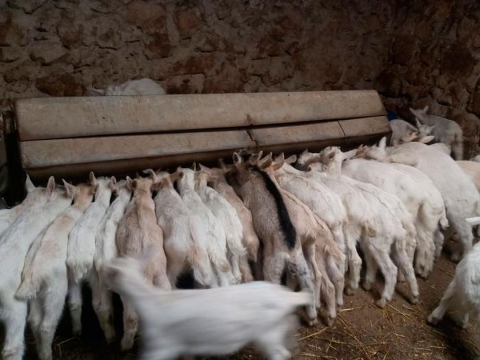 ASAJA alerta de la grave situación que viven los ganaderos de ovino y caprino ante la imposibilidad de vender sus animales