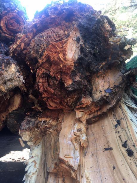 El Ayuntamiento apea los árboles podridos de la desembocadura del Huécar
