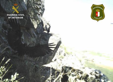 La Guardia Civil ha investigado a una persona al poner en peligro una cría de águila real catalogada como especie protegida