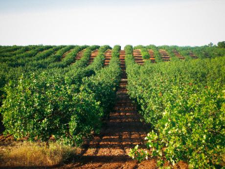 Castilla-La Mancha ha triplicado la superficie cultivada de pistacho en lo que va de legislatura