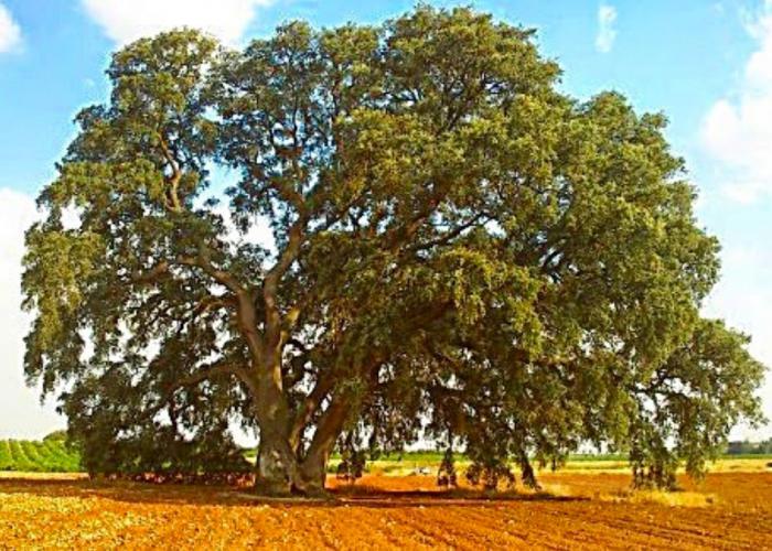 """La Encina de Mota del Cuervo declarada """"árbol singular"""""""