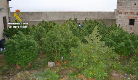 Se han intervenido un total de 37 plantas de cannabis sativa (marihuana) en fase de cultivo