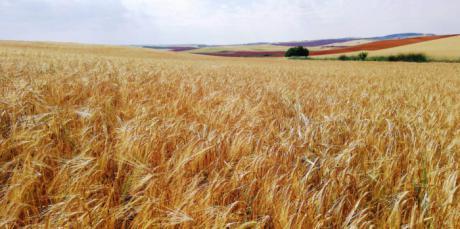 Los cereales de invierno verán recortada la superficie de cultivo en casi trescientas mil hectáreas