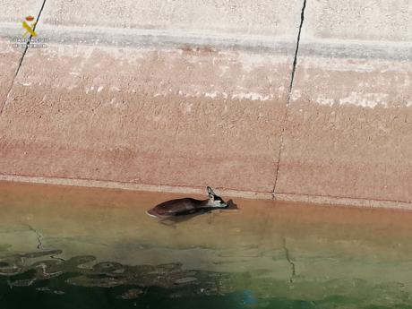 Rescatado un corzo en el trasvase Tajo-Segura