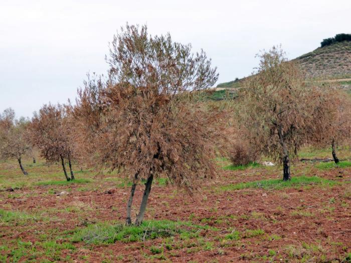 El 70 por ciento de la producción de aceituna de La Alcarria de los próximos años, en peligro por los daños que Filomena ocasionó en el olivar