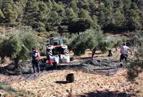 ASAJA Cuenca denuncia los bajos precios de la aceituna en una campaña que ha sido excelente tanto en cantidad como en calidad