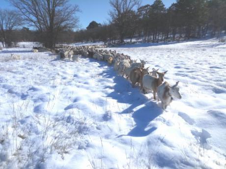 ASAJA alerta de las graves repercusiones que el temporal tendrá para la ganadería extensiva