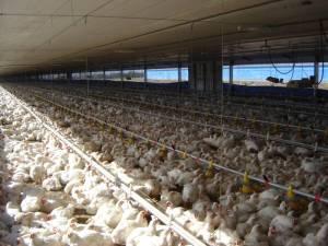 Nueva movilización de los vecinos de Tinajas contra la ubicación prevista para dos macro granjas de engorde de pollos con una capacidad para 66.000 animales