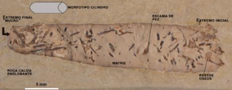 Heces fosilizadas del yacimiento de Las Hoyas revelan la gran diversidad acuática del Cretácico