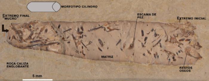 Fotografía de un coprolito cilíndrico de Las Hoyas, mostrando algunos de los elementos más importantes estudiados y que podría ser atribuido a un animal anfibio o terrestre carnívoro