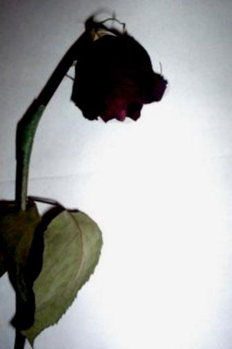 Escrutinio de la rosa