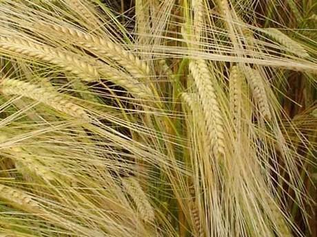 ASAJA de Cuenca estima que el rendimiento de las explotaciones de cebada será menor del previsto