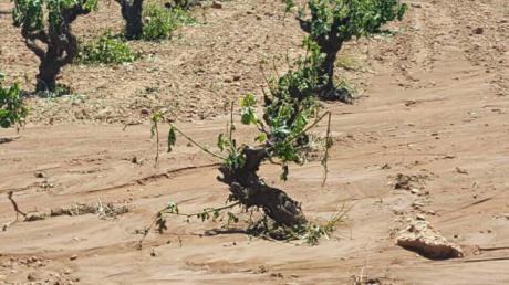 Más de 7.000 hectáreas de girasol y de viña dañadas por tormentas en la provincia