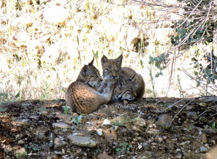 Un total de 70 crías de lince ibérico han nacido en estado salvaje en Castilla-La Mancha gracias a la reintroducción de la especie en la región