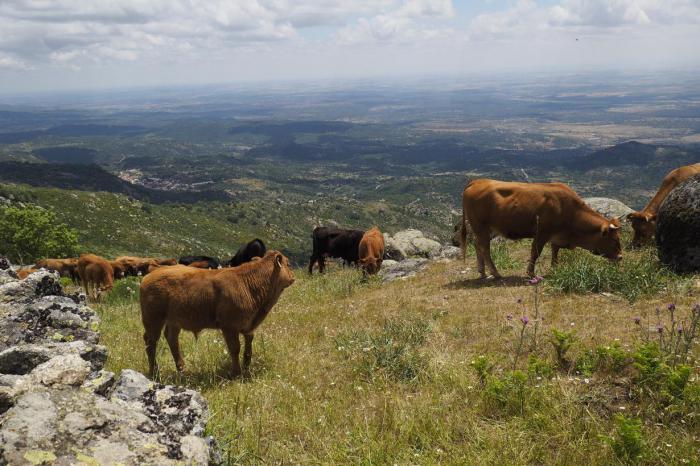 Mañana llegan a las cuentas de 1.445 ganaderos de la región un total de 9,4 millones de euros de ayudas asociadas de la PAC para vacas nodrizas