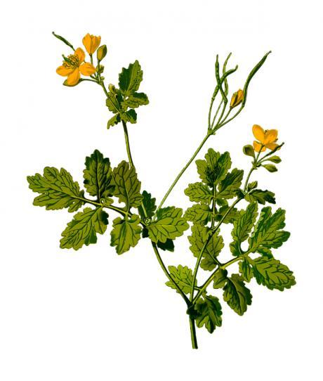 Villalba de la Sierra acoge este domingo una ruta de plantas medicinales