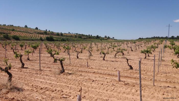 Varios miles de hectáreas de uva bobal de La Manchuela, afectadas por marchitez fisiológica como consecuencia del pedrisco, la humedad y las bajas temperaturas