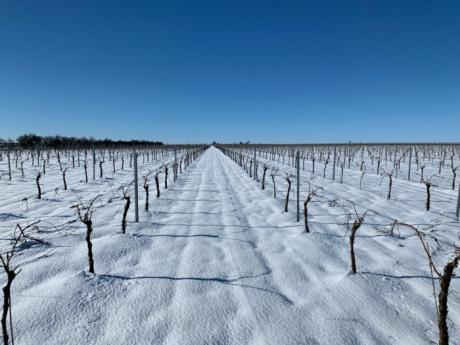 Asaja Cuenca alerta de importantes daños en el olivar de La Alcarria por el temporal de nive y hielo